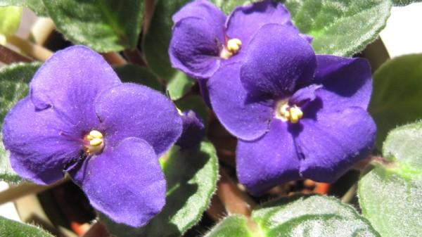 Pianeta tempo libero violette africane for Violette africane