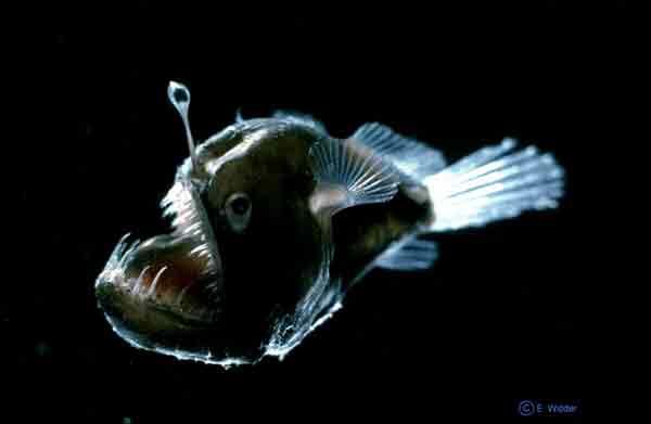 Angler fish for Angler fish light