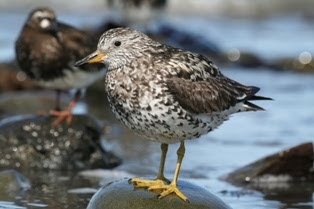 Surfbird