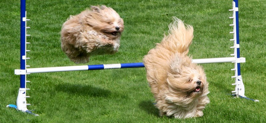 Havanese agility training. A Happy Havanese Blog