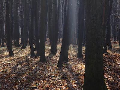 Grzyby w listopadzie, grzybobranie w Puszczy Niepołomickiej, Puszcza Niepołomicka, grzybobranie w listopadzie,  czubajka gwiaździsta Macrolepiota konradii, próchnilec-gałęzisty - Xylaria hypoxylon, opieńka ciemna, Armillaria ostoyae, Łycznik późny Panellus serotinus,  lejkówka szarawa (gąsówka mglista). Clitocybe nebularis, Kruchaweczka namakająca [Kruchaweczka wilgotna] Psathyrella piluliformis, grzybówka sp., Trzęsak pomarańczowożółty (Tremella mesenterica