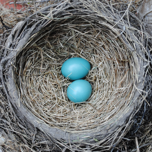 robin eggs and nest