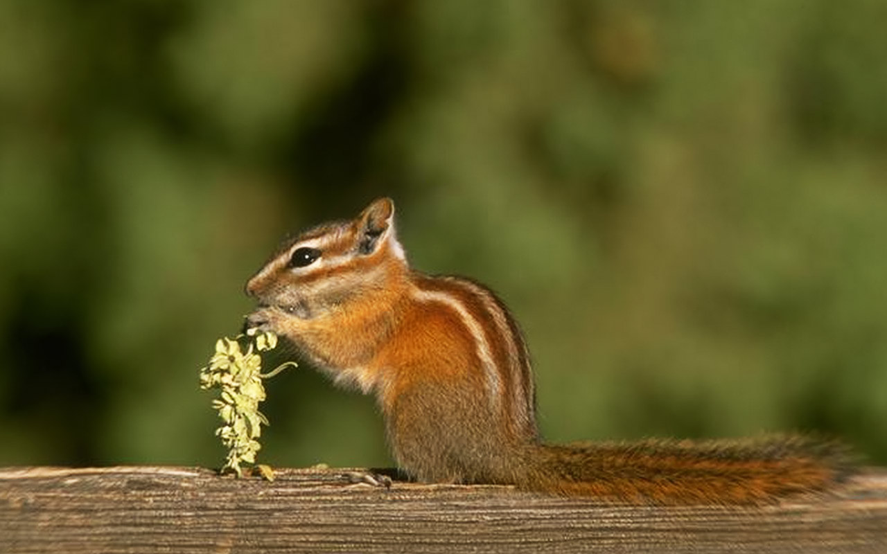 http://3.bp.blogspot.com/-EqmJFI3vuWk/T9TNaqb_NwI/AAAAAAAABno/qbFbIRN7NJE/s1600/forest-desktop-chipmunk-animals-backgrounds-gallery-wallpapers_for_desktop.jpg