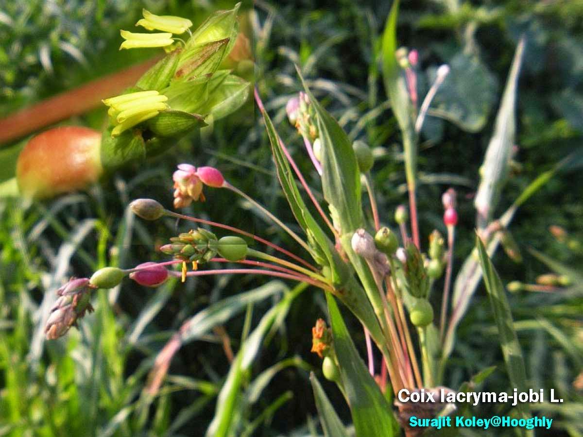 Medicinal Plants Coix Lacryma Jobi Job S Tears Adavi