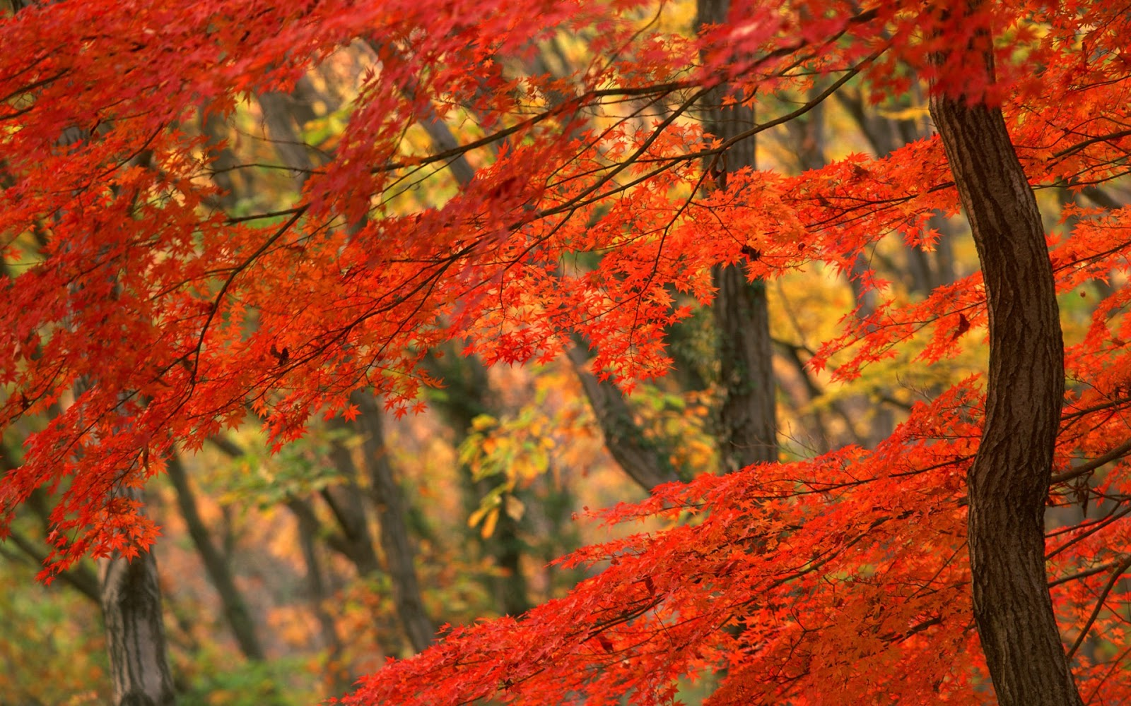 pemandangan: Autumn Leaves Wallpaper