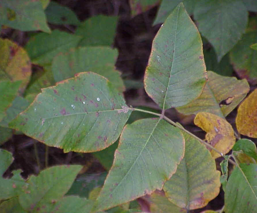 Learn the Poison Ivy Plant Identify the facts here!