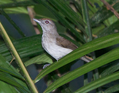 Rufous-crowned Babbler (Malacopteron magnum)