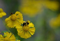 image of yellow flowers with a bumble bee and a honey bee
