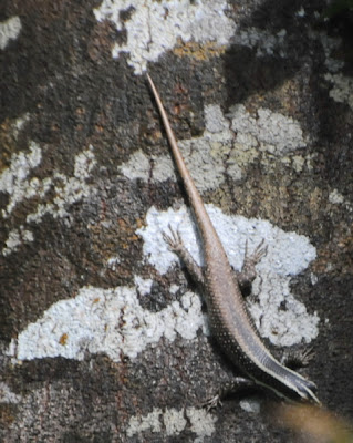 Common Tree Skink (Apterygodon vittatum)