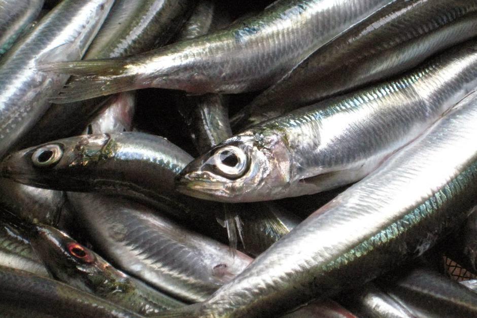 http://www.abc.net.au/news/2014-11-26/sardine-catch-increase-for-south-australia/5919496#.VH2U4xUFwyQ.email