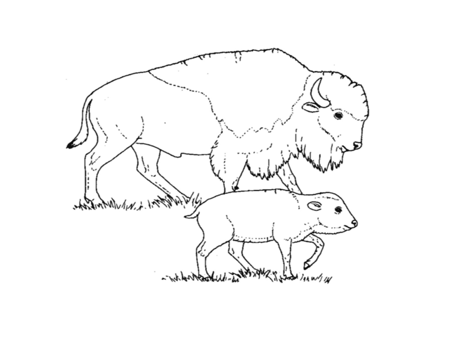 Bison coloring pages for kids realistic coloring pages for Bison coloring pages