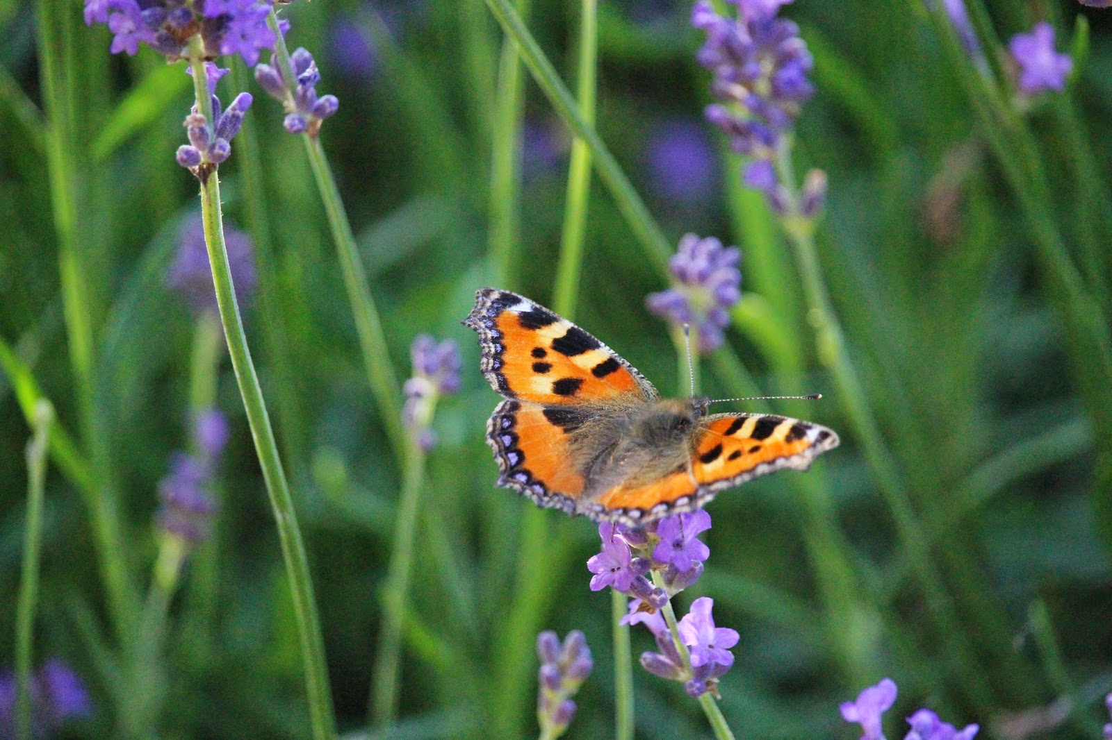 Lavendel - immer wieder einen Beitrag wert