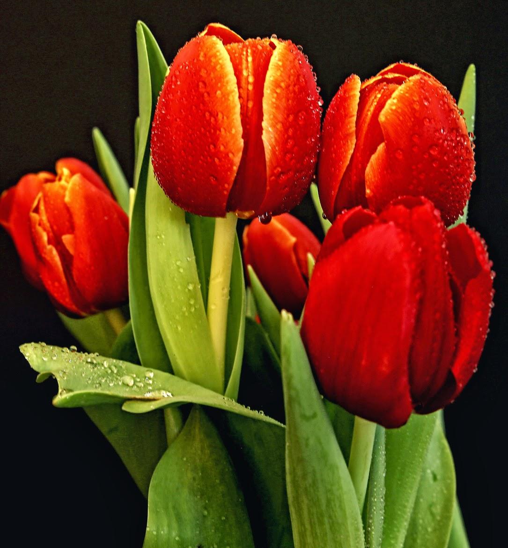 Tulipanes rojos flowers pinterest - Fotos de rosas de colores ...