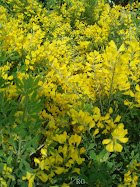 Genista maderensis