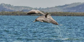 new_humpback_dolphin_species