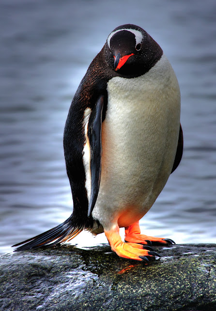 cute baby penguin pictures