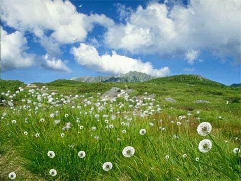 best dandelion flowers wallpapers for desktop