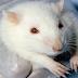 Επιστήμονες σταμάτησαν τη σκλήρυνση κατά πλάκας σε πειραματόζωα