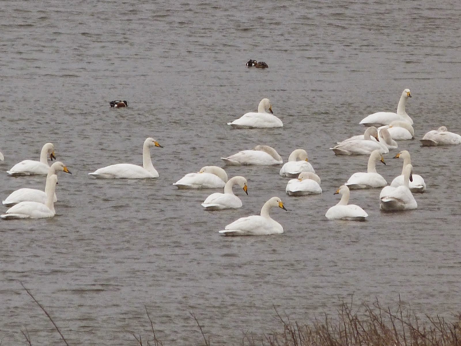 Whooper Swan