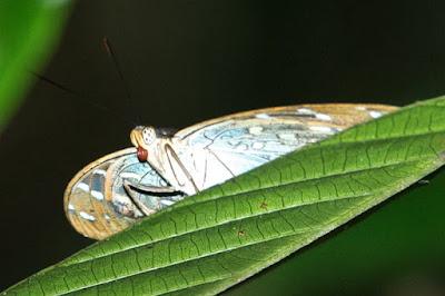 Archduke (Lexias pardalis)