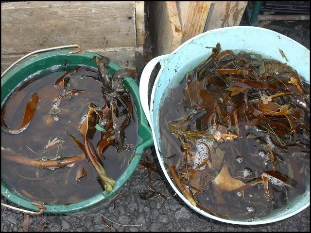 Seaweed tea, seaweed, seaweed liquid feed