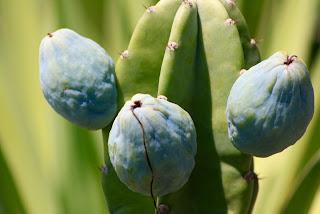 perucian cereus