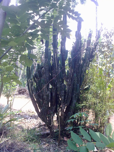 Opuntia stricta or Kallichedi
