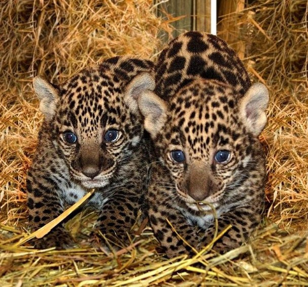 White Wolf : Jaguar cubs born in California (Video)