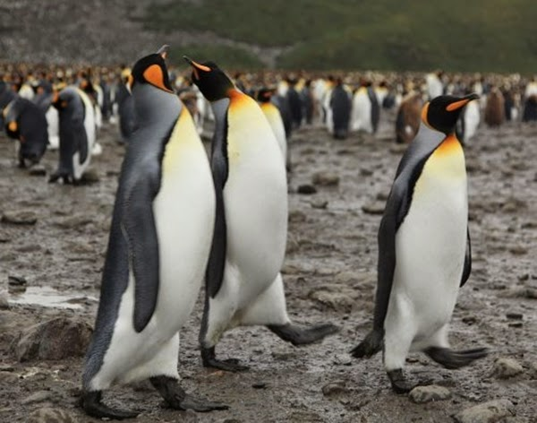 9. King Penguin - maximum weight of 20 kilograms