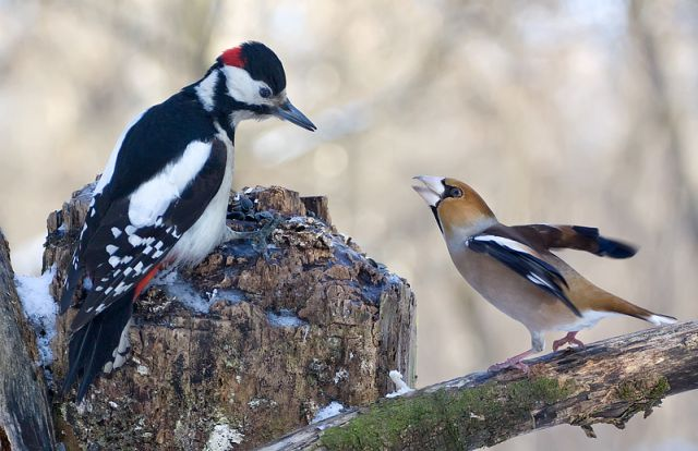 Two birds a woodpecker and grosbeak kissing, goodbye kiss, bird's love