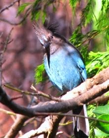 A Young Steller's Jay