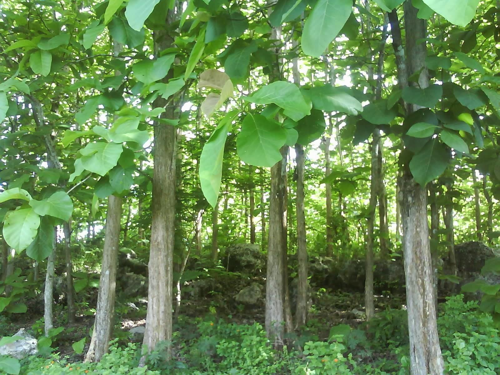 Pohon jati, contoh tanaman sandang yang berasal dari batangnya.