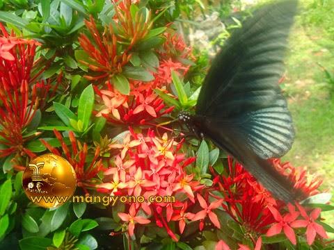 FOTO : Kupu – kupu sedang menghisap madu bunga asoka di taman halaman rumah saya