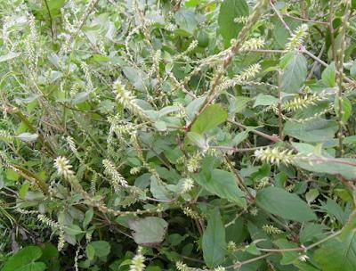 Các bài thuốc chữa bệnh xương khớp từ cây cỏ xước