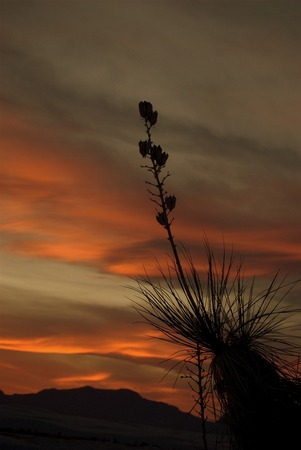 yucca photo, pictures of yucca