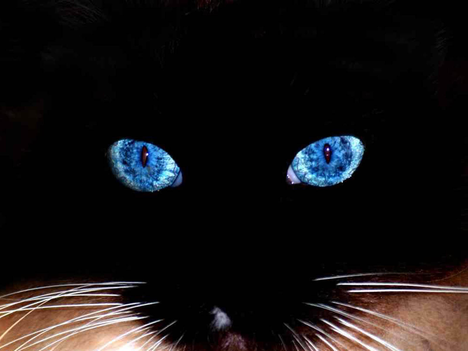 wallpapers collections: black cat blue eyes