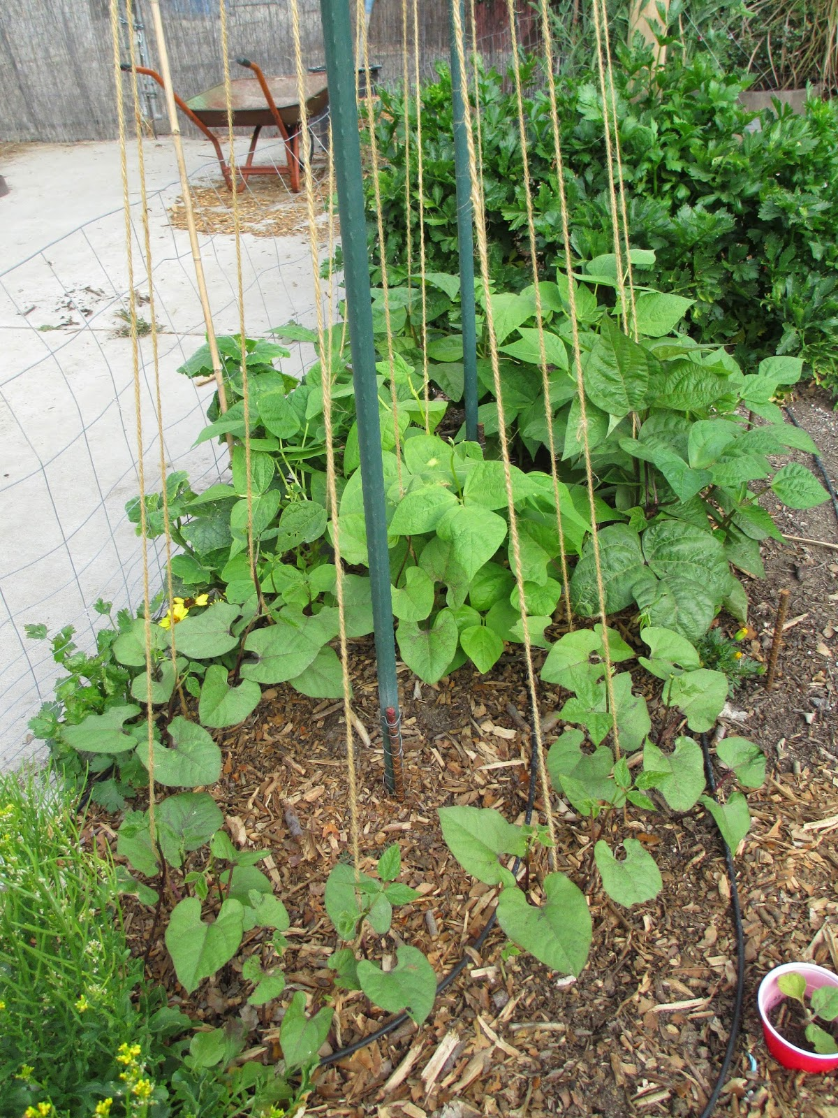An s Way Trellis Ideas for Tomatoes Cucumbers Beans Peas