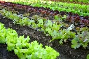 Starting Your First Organic Vegetable Garden