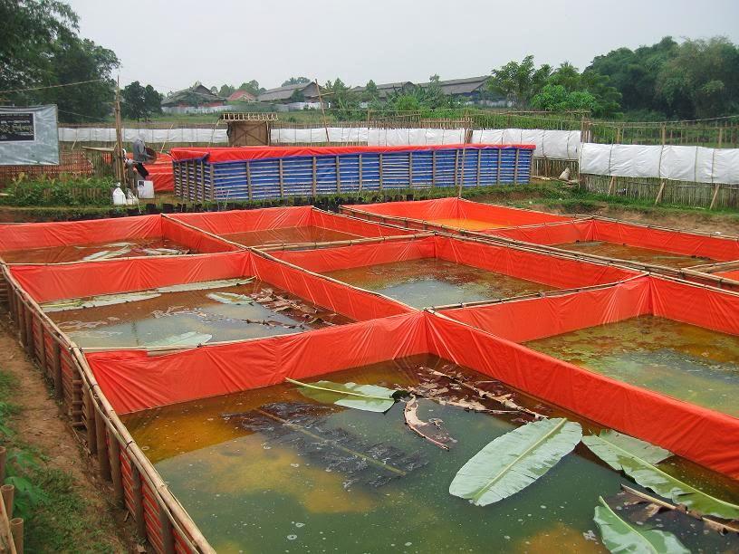 Cara Budidaya Ikan Gurame Di Kolam Terpal dan Beton ...