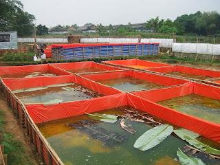 Cara Budidaya Ikan Gurame Di Kolam Terpa