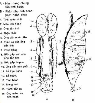 Sơ đồ cấu tạo cơ quan sinh dục của con trống