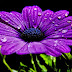 Colorful Violet Flowers images