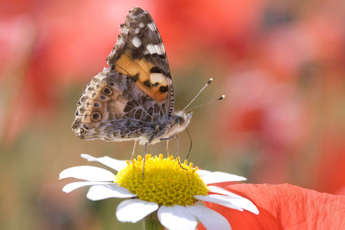 Mariposa sobre la flor - Butterfly on the flower