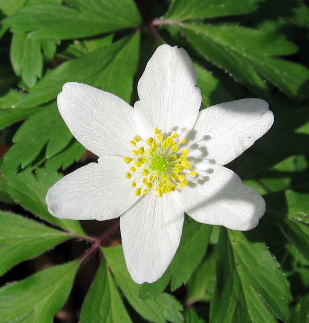 Wood anemone, Anemone nemorosa, in the woods on on Hayes Common