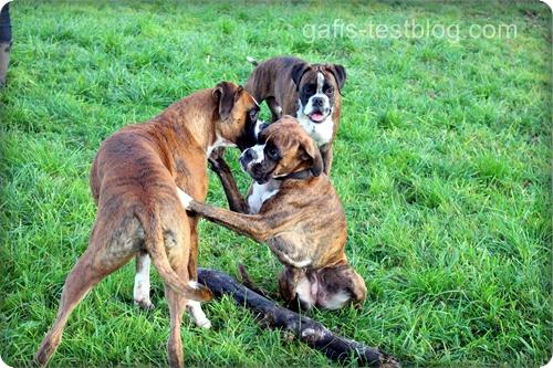 Boxer Amy mit ihren Büdern Baxter und Hans