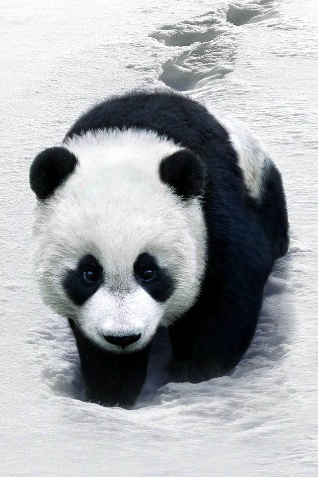Panda  Galaxy Note HD Wallpaper