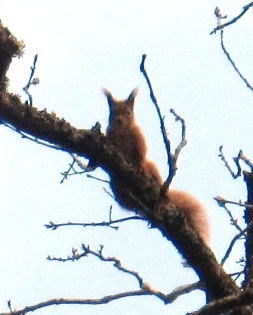 A Deeside squirrel