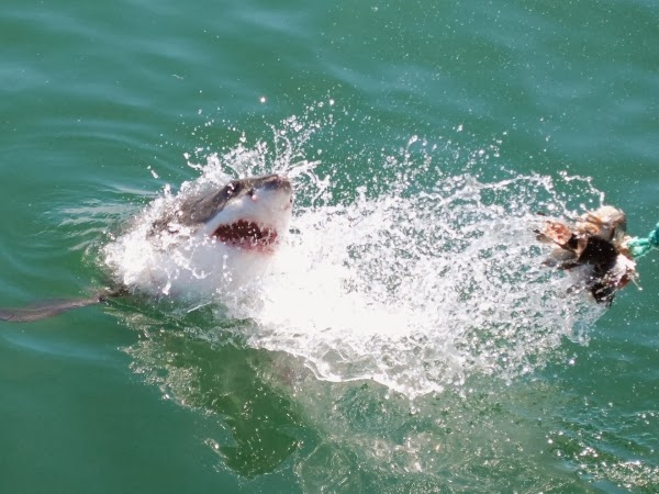 Great White going after the bait.