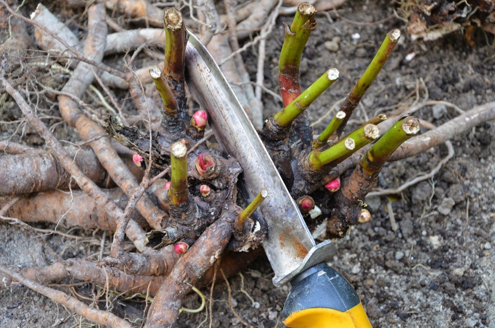 Как правильно сажать ПИОНЫ осенью и весной? ОБЗОР ФОТО!