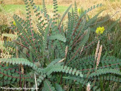 Astragalus-milkvetche